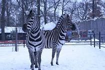 Zebry Chapmanovy jsou nejvhodnější k chovu v zajetí. Vynikají nejen krásou, ale i snášenlivou povahou.