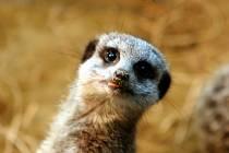 Do zoo v Hodoníně přibyla skupina devíti surikat.