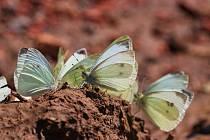 Některé druhy motýlů se od člověka nechají ochotně vzít i na ruku.