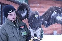 Samice orla skalního, kterou pořídila zoo v Hodoníně.