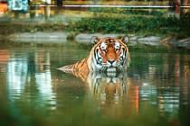 Volně žijící tygry ussurijské chtějí Hodonínští podpořit nejen ze vstupného v zoo, ale také z výtěžku aukce při dnu tygrů.