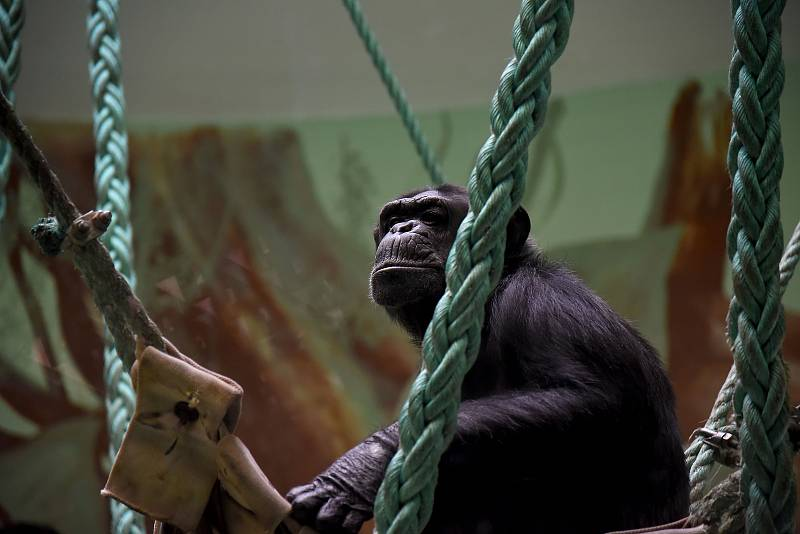 Příjezd brněnských šimpanzů do hodonínské zoologické zahrady.