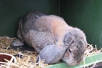 Oblastní a okresní výstavy zvířat mladých chovatelů a místní výstavy králíků, drůbeže a holubů v Kyjově.