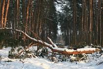 V Bzenecké Doubravě sníh láme větve. Borovice, která je v lese dominantním porostem, je křehká. Někde se lámou celé koruny.