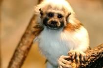 Do prvního kola soutěže vysílá zoo tamarína pinčího Pinďu, který se narodil jako jeden ze tří potomků tamaríního páru.