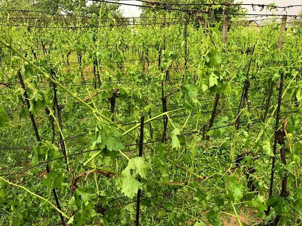 Vinohrad v Dolních Bojanovicích.