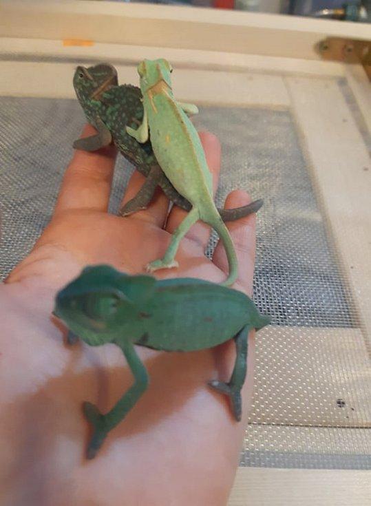 Mláďata chameleona jemenského v hodonínské zoologické zahradě.