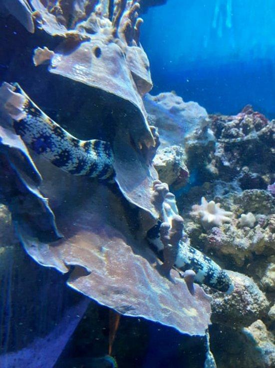 V nejmenší mořské nádrži hodonínské zoologické zahrady se zabydlela muréna hvězdovitá.