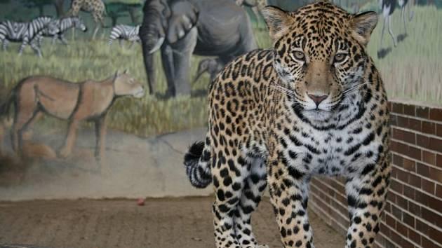 Jaguáři v hodonínské zoo.
