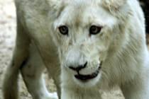Jihoafrický lev přicestoval do hodonínské zoo z parku Lory v Jihoafrické republice.