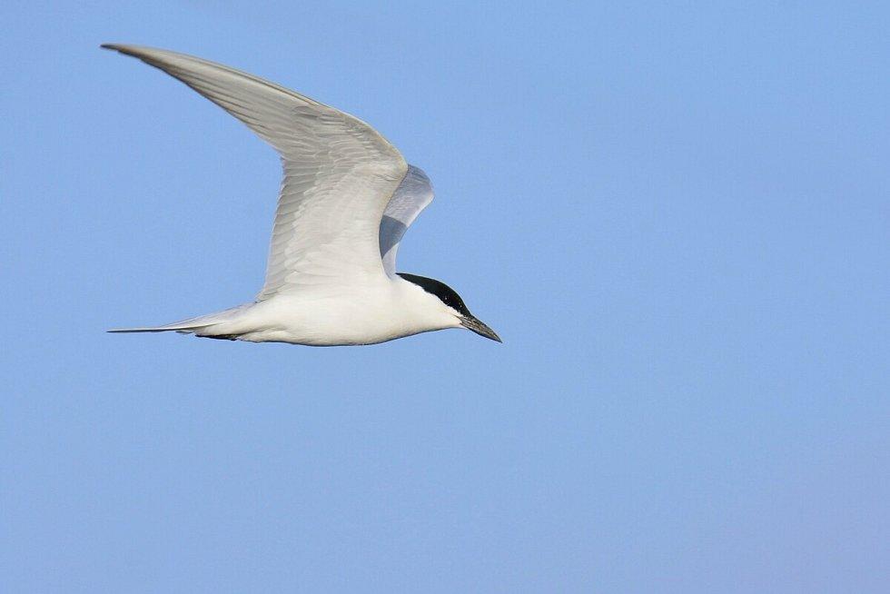 Rybák černozobý. Ornitologové pozorovali rybáka černozobého v roce 2020 v ČR pouze na jediném místě, v Ptačím parku Kosteliska.