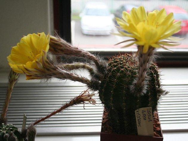 Výstava kaktusů a sukulentů v Hodoníně.