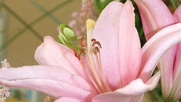 Výstava lilií a jejich aranžmá v Hodoníně už poosmé zdobí o tomto víkendu budovu Městského úřadu na Horních Valech.