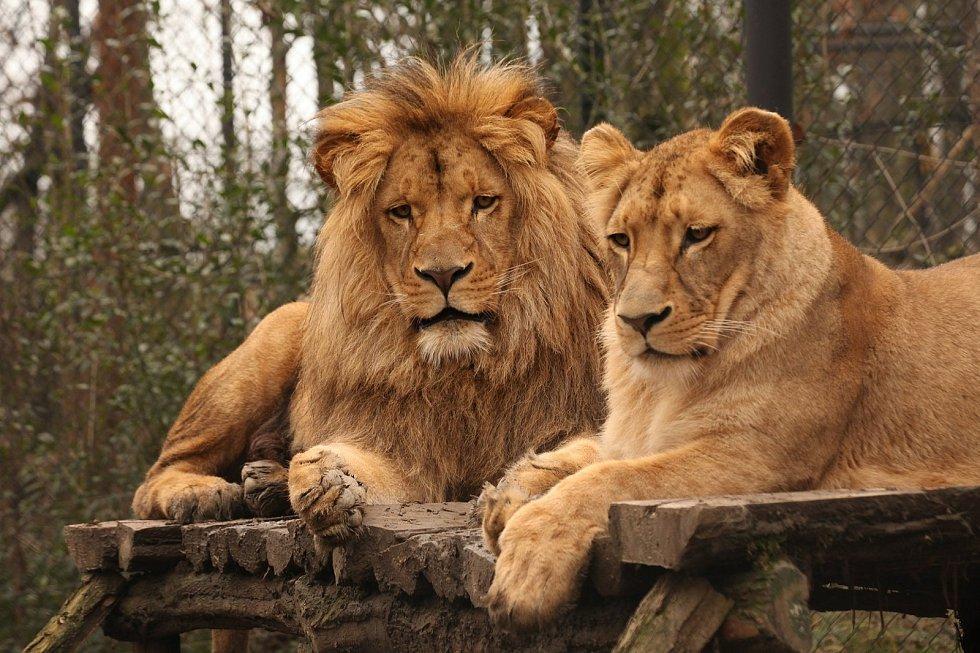 Lví dvojčata Anoona a Akashinga odjela z Brna do polských zoo. Foto: Zoo Brno