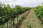 Místo na keřích se povalují listy na zemi, poškozené jsou hrozny, kukuřice i ovoce. Zemědělci sčítají škody, následky označují někteří za katastrofální.