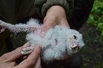 Nové mládě puštíka bělavého v hodonínské zoologické zahradě.
