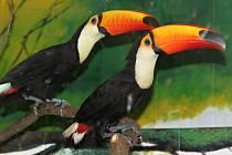 Noví tukaní pár v hodonínské zoo.
