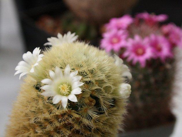 Hodonínští kaktusáři vystavují. Na letošní výstavě kaktusů a sukulentů představili na osm set exemplářů.