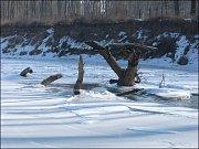 Kolem trčících kmenů často řeka nezamrzne.