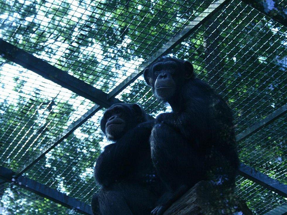 Šimpanz z hodonínské zoo dostal dvě samice.