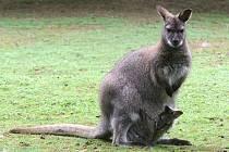 Některým stálým obyvatelům hodonínské zoo se pro změnu narodila mláďata, ve vaku si momentálně hoví malý klokan rudokrký.