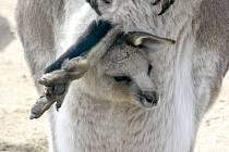 Nová mláďata klokanů obrovských v hodonínské zoologické zahradě. Foto: Josef Petrica