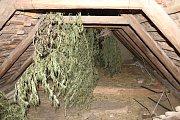 Sedmadvacetiletého muže ze Strážnice navštívili ve čtvrtek u něj doma kriminalisté. Pěstoval marihuanu.