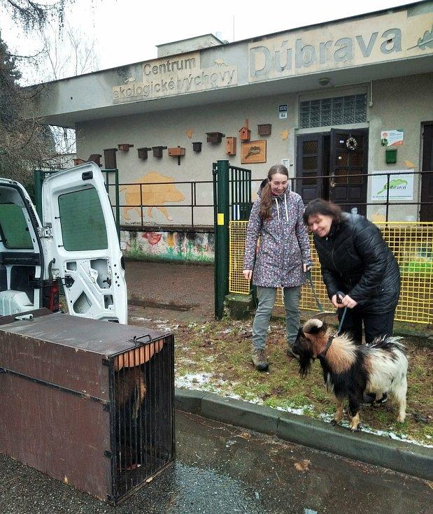 Příslušníci myslivecké stráže dopadli zdivočelého kozla s beranem, kteří často děsili řidiče u silnice za kyjovskou místní částí Bohuslavice.