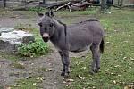 Oslík domácí zakrslý přicestoval do hodonínské zoologické zahrady z Německa. Vyhlíží první návštěvníky.