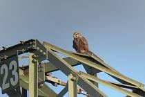 Fotky raroha velkého i jeho mláďat na jižní Moravě. Někteří už mají sledovací koužek.