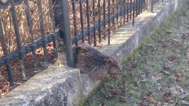 Netradiční zásah, který v pátek absolvovala jednotka ve Veselí nad Moravou. Z plotu její členové vytahovali bobra.