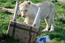 Téměř tři tisíce lidí zavítalo do hodonínské zoo na slavnostní uvítání bílých lvů jihoafrických v pavilonu velkých koček.