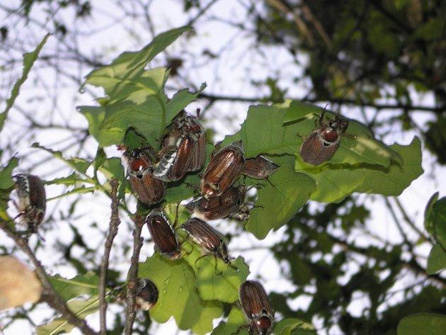 Chrousti sežrali všechno listí