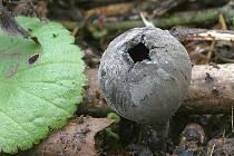 Především houbaři si pochvalují teploty letošní zimy a déšť posledních dní. V lesích se objevily houby, které běžně rostou až v březnu. Další pak nacházejí ve větším množství, než je obvyklé.