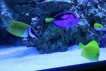 Mezi prozatím nepříliš výraznými korály proplouvají například různobarevní bodloci anebo králíčkovec (vlevo).