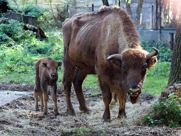 Máma zubřice se svým mládětem.