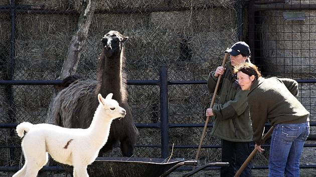 Mláďata lamy krotké v hodonínské zoo.