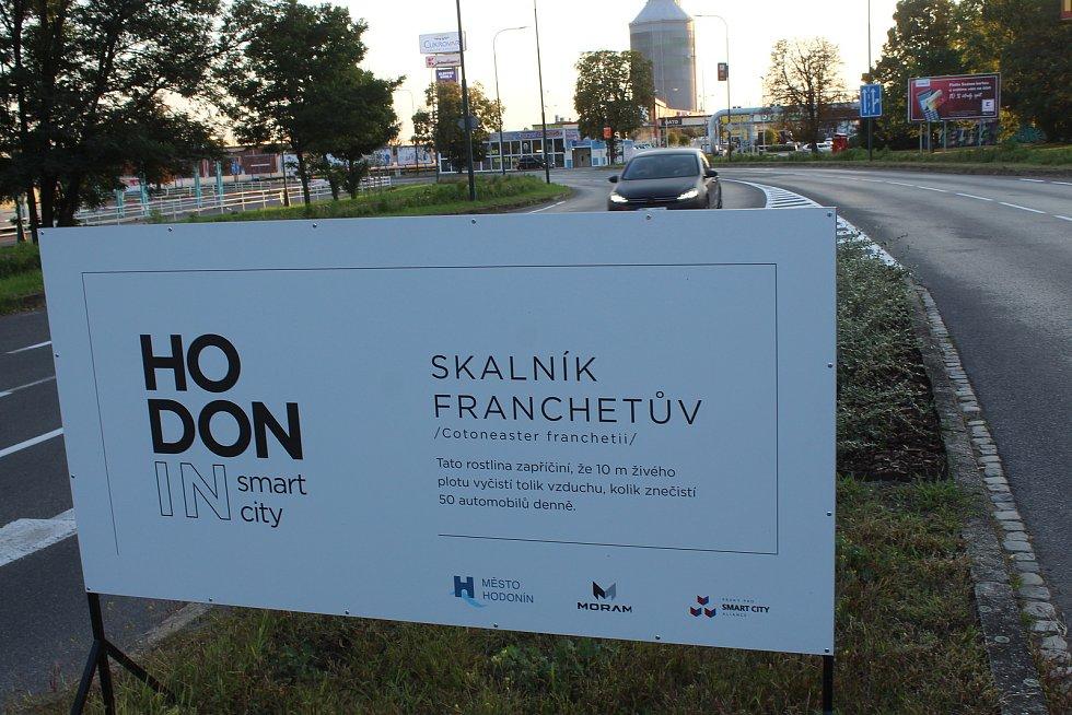 Skalník Franchetův roste na ostrůvku ve Dvořákově ulici v Hodoníně.
