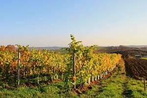 Nejen klasické odrůdy révy vinné pěstuje Václav Šalša z Kyjova, do jeho vinic si našel cestu také Hibernal, Solaris nebo Laurot.