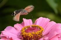 Český kolibřík si oblíbil zahradu