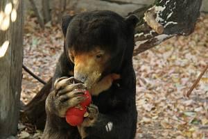 Dvaatřicetiletá medvědice malajská zahynula.