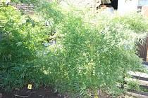 Objevená pěstírna marihuany. Ilustrační foto.