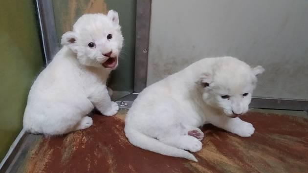 Novinka zoo v Hodoníně: dvě mláďata lva jihoafrického