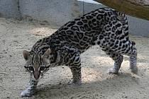 Amor se psy hřivnáči ladí. Ubikaci má hned vedle, a tak tvoří pěknou jihoamerickou expozici.