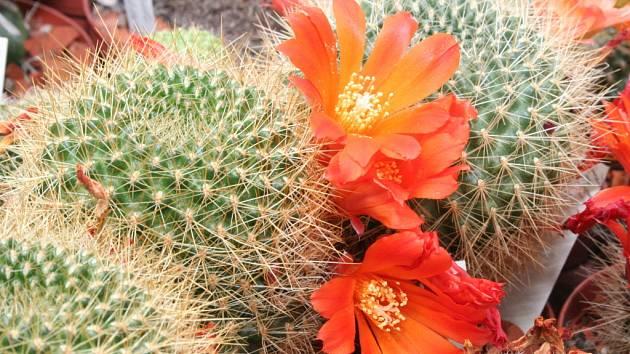 Kaktusy na výstavě