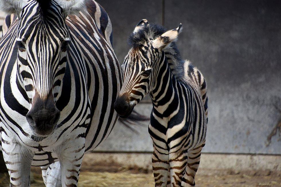 Mládě zebry Chapmannovy se tento týden narodilo v hodonínské zoologické zahradě.