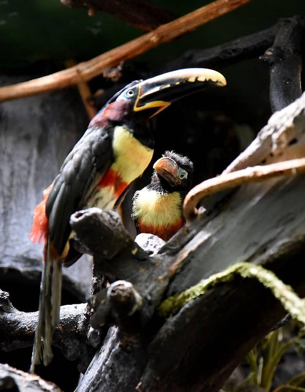 Arassari hnědouchý v hodonínské zoologické zahradě.