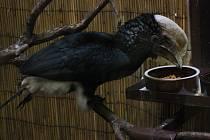 Zoborožec šedolící v hodonínské zoo.