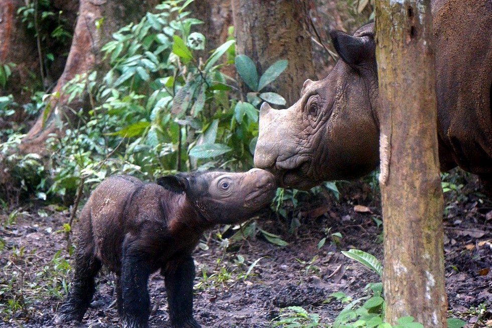 Hodonínská zoo se zapojila do sbírky na ochranu ohroženého druhu nosorožců. FOTO: Archiv ZOO
