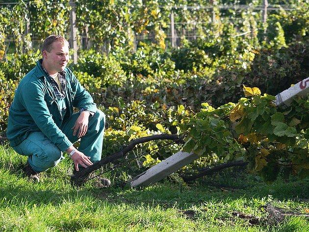 Vinohrad naležato
